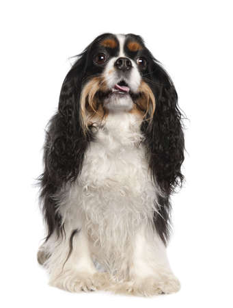 Cavalier King Charles Spaniel (3 years old) in front of a white background photo