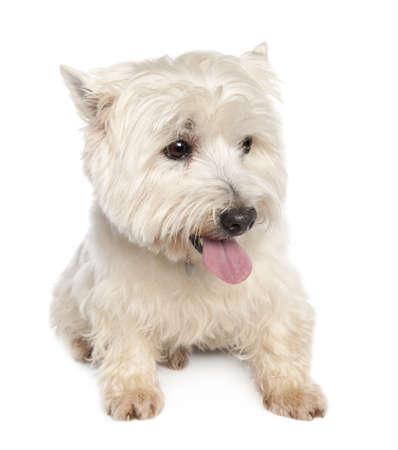 West Highland White Terrier (10 years) in front of a white background photo