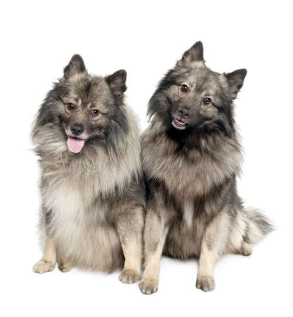 2 years old: couple of two Keeshond (6 and 2 years old) in front of a white background Stock Photo
