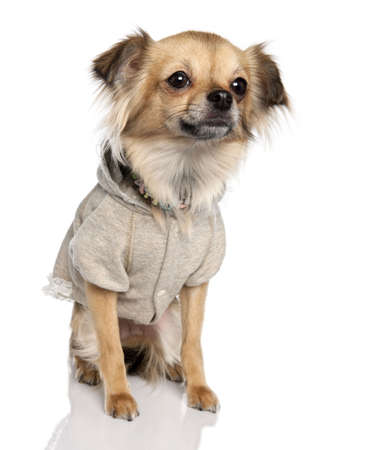 long haired chihuahua: long haired chihuahua (2 years old) in front of a white background Stock Photo