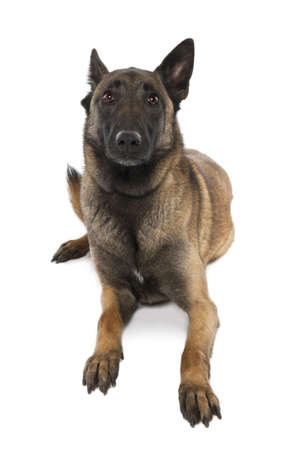gardian: Puppy Belgian Tervuren (5 years old) in front of a white background