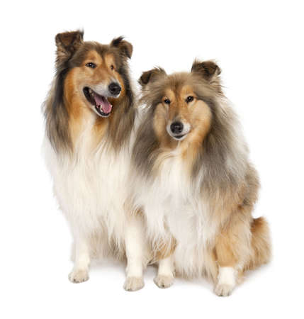 group of two shelties (5 and 6 years old) in front of white background photo