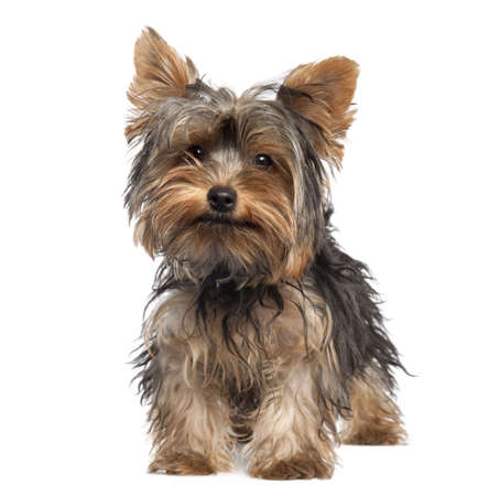 Yorkshire Terrier puppy (5 months old) in front of a white background