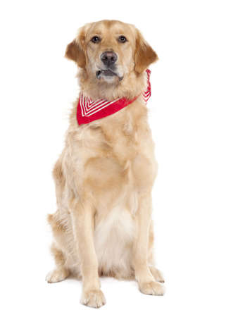Golden Retriever (17 mopnths old) in front of a white background photo