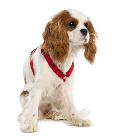 cavalier: Cavalier King Charles Spaniel puppy (7 months old) in front of a white background