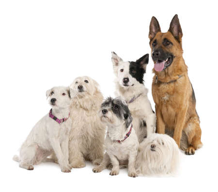 group of german shepherd, border collie and some crossbreed in front of a white background Stock Photo - 4712973