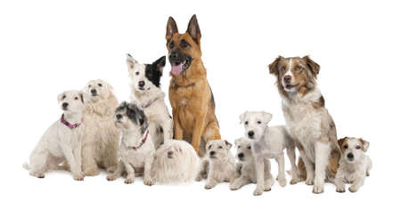 moggi: group of dog : german shepherd, border collie, Parson Russell Terrier and some crossbreed in front of a white background