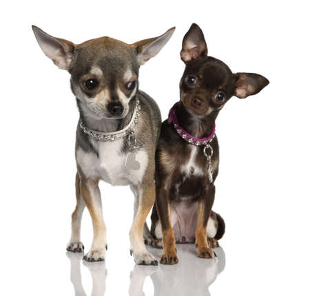 minuscule: Couple of chihuahua (8 months and 19 months old) in front of a white background