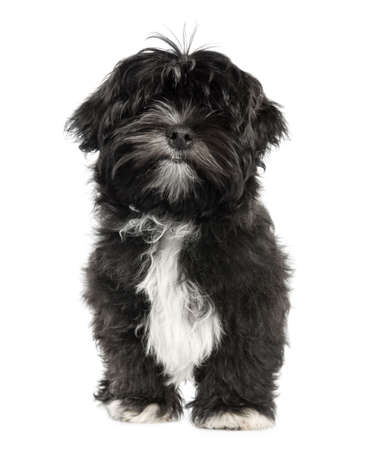 Lhasa Apso puppy (4 months old) in front of white a background Stock Photo - 4712740