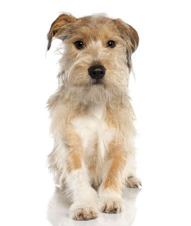 Mixed-Breed Dog with a griffon (18 months old) in front of a white background Stock Photo - 4712860