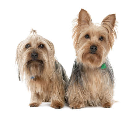 Couple of Yorkshire Terrier (2 years and 5 years old) in front of a white background photo