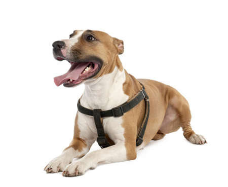 Mixed-Breed Dog between a bull terrier and a boxer (3 years old) in front of a white background photo