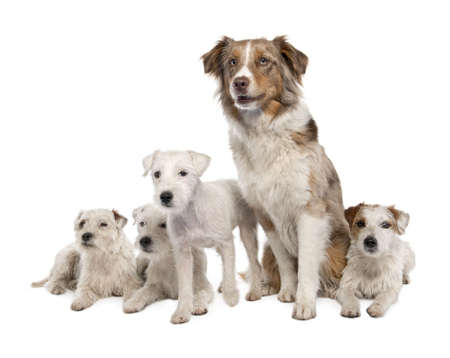group of 4 Parson Russell Terrier and a Australian Shepherd in front of a white background photo