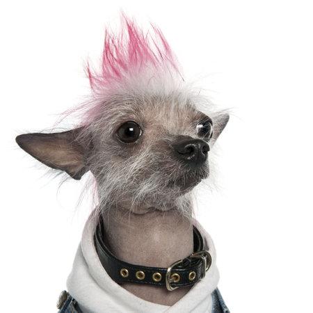 punk hair: Chinese Crested Dog - Hairless (2 ans) chien devant un fond blanc