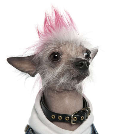 bad hair: Chinese Crested Dog - Hairless (2 years old) dog in front of a white background