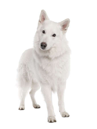 White Shepherd Dog (6 years old) in front of a white background Stock Photo - 4712856