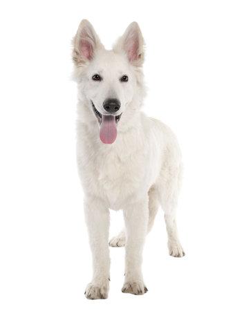 white shepherd dog: White Dog Pastore cucciolo (5 mesi) di fronte a uno sfondo bianco Archivio Fotografico