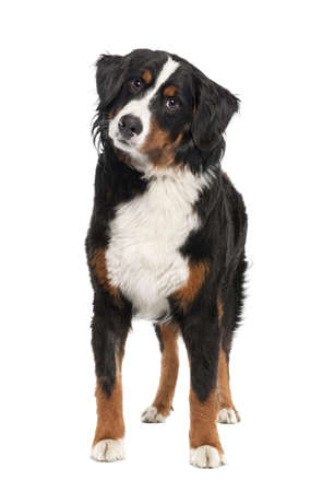 Bernese mountain dog (14 months old) in front of a white background photo