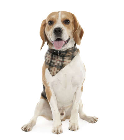 Beagle (20 months old) in front of white background