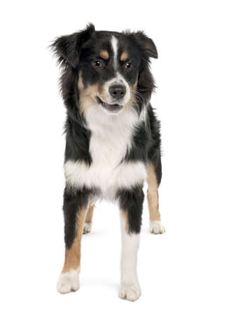 Puppy australian shepherd (7 months) in front of a white background photo