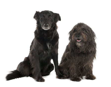 Couple of a Mixed-Breed Dog with a Border Collie and a Gos dAtura (4 and 10 years old) in front of a white background