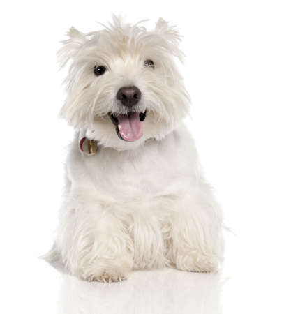West Highland White Terrier (6 years old) in front of a white background photo