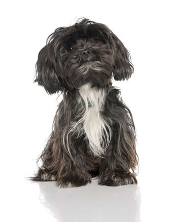 Mixed-Breed Dog between a yorkshire and a Lhasa Apso (2 years old)in front of a white background photo