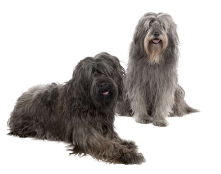 sheepdog: Catalan Sheepdog (6 and 3 years old) in front of a white background Stock Photo