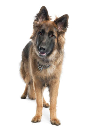 german shepherd (1 year old) in front of a white background Stock Photo - 4712542