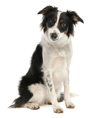 9 months old: Border Collie (9 months old) in front of a white background