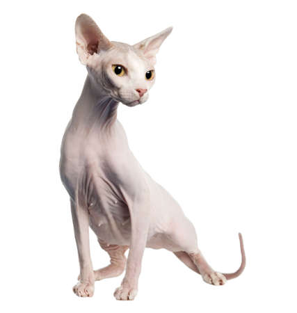 hypoallergenic: Sphynx (4 years old) in front of a white background