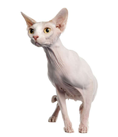 Sphynx (4 years old) in front of a white background photo
