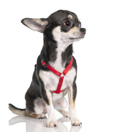 minuscule: chihuahua (9 months old) in front of a white background