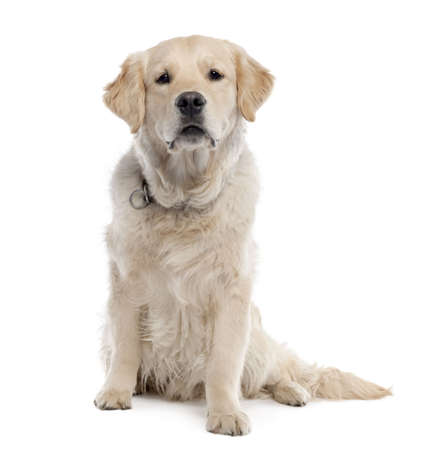 Golden Retriever (11 months old) in front of a white background photo