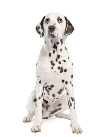 dalmation: Dalmatian () in front of a white background