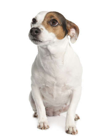 Jack russell (6 years old) in front of a white background photo