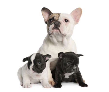 Mother French Bulldog and her puppies (1 year old and 8 weeks old) in front of a white background  photo