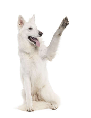 White Shepherd Dog (1 year old) in front of a white background photo
