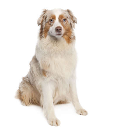 australian shepherd (3 years old) in front of a white background photo