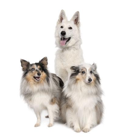 white shepherd dog: gruppo di un bianco e due cani pastore shelties di fronte a uno sfondo bianco Archivio Fotografico