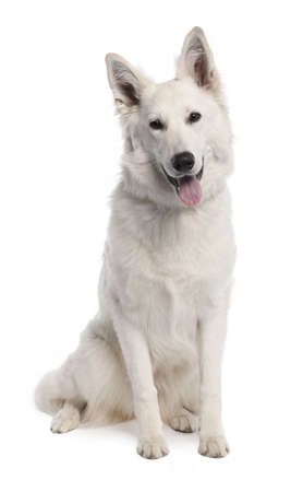 White Shepherd Dog (7 years old) in front of a white background photo