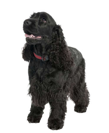 English Cocker Spaniel (2 years old) in front of a white background Stock Photo - 4712553