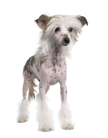 Chinese Crested Dog - Hairless (3 years old) in front of a white background