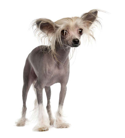 lapdog: Chinese Crested Dog - Hairless (3 years old) in front of a white background