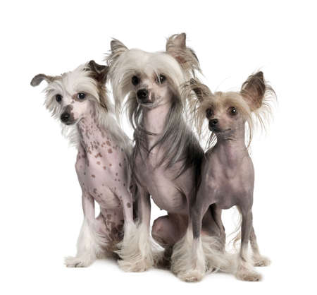 lap dog: group of three Chinese Crested Dog - Hairless (3 years old) in front of a white background
