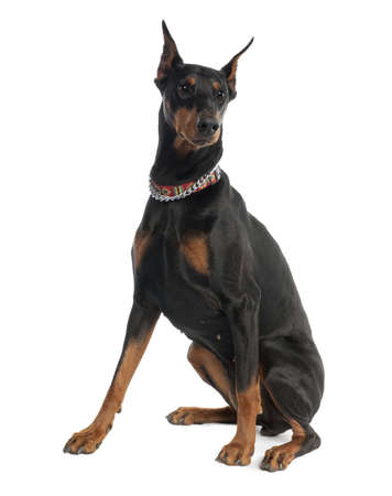 Doberman Pinscher (5 years old) in front of a white background photo