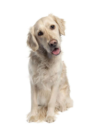 Golden Retriever (5 years old) in front of a white background photo