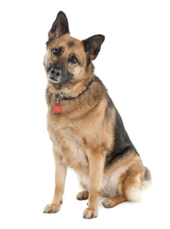 german shepherd (5 years old) in front of a white background