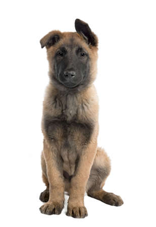 Puppy Belgian Tervuren (3 months) sitting in front of a white background Stock Photo - 4712523