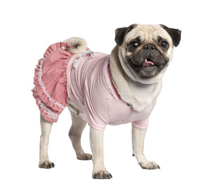 dressed pug (4 years) in front of a white background  photo